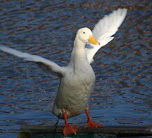 Duck  by mattaylorphotography