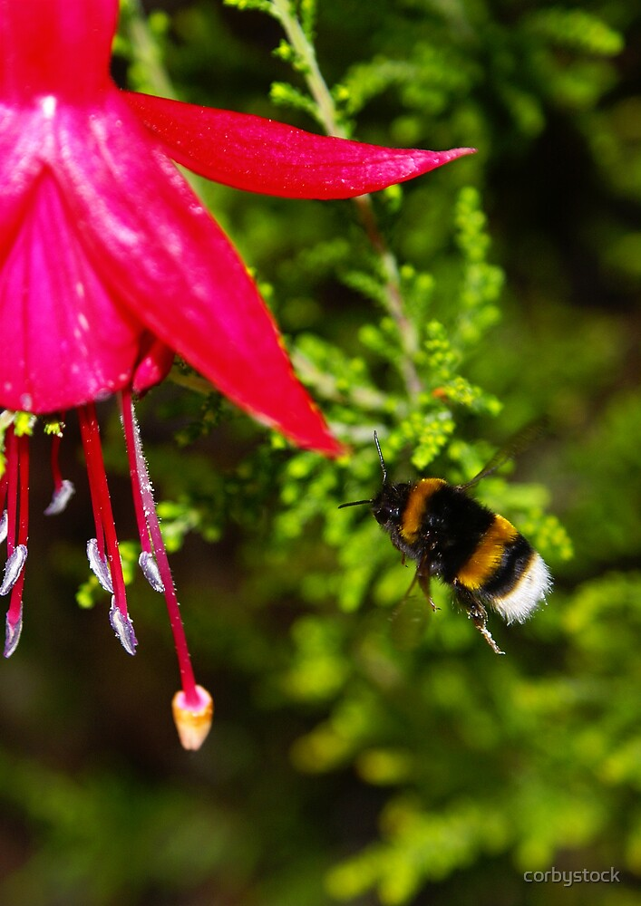Fuchsia Bee by corbystock