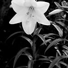 Longiflorum Lily, black and white by Tim Haynes