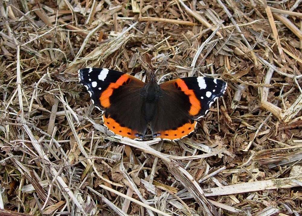 Red Admiral Butterfly by Monster