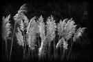 Pampas Grass by Robert Meyer