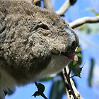 koala by chrisblackwell29