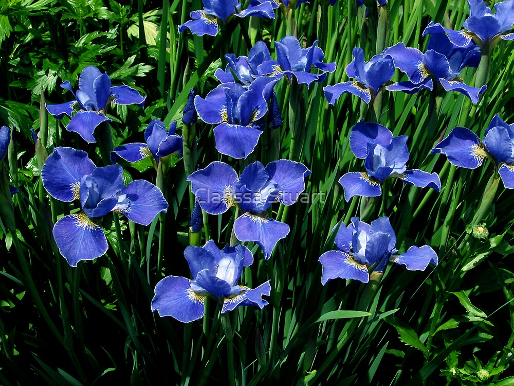 Blue Siberian Irises by Clarissa Stuart