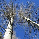 Birch Trees by Steve Hunter
