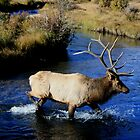 Bull Elk on the Prowl. by JamesMichael