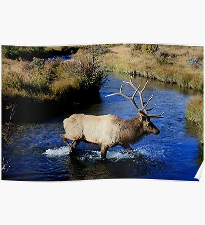 Bull Elk on the Prowl. Poster