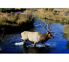 Bull Elk on the Prowl. Photographic Print