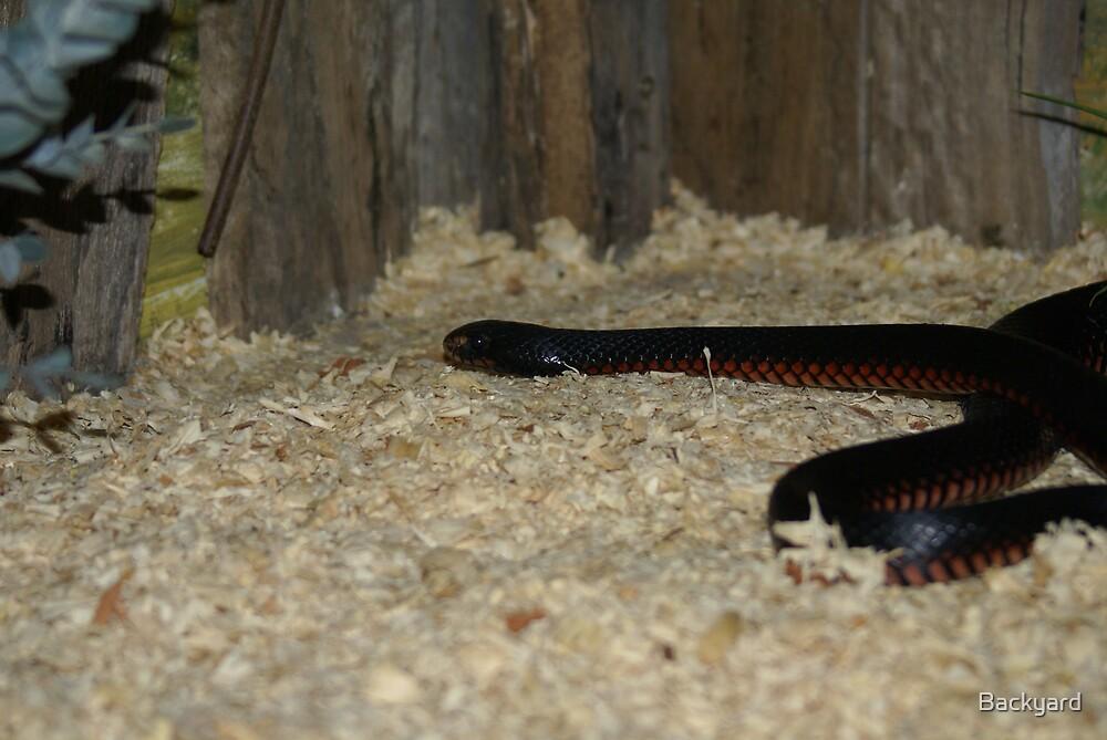 Red Belly Black Snake by Backyard