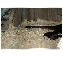 Red Belly Black Snake Poster
