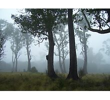 trees guarding the mist - with unusual thick burls on trunks Photographic Print