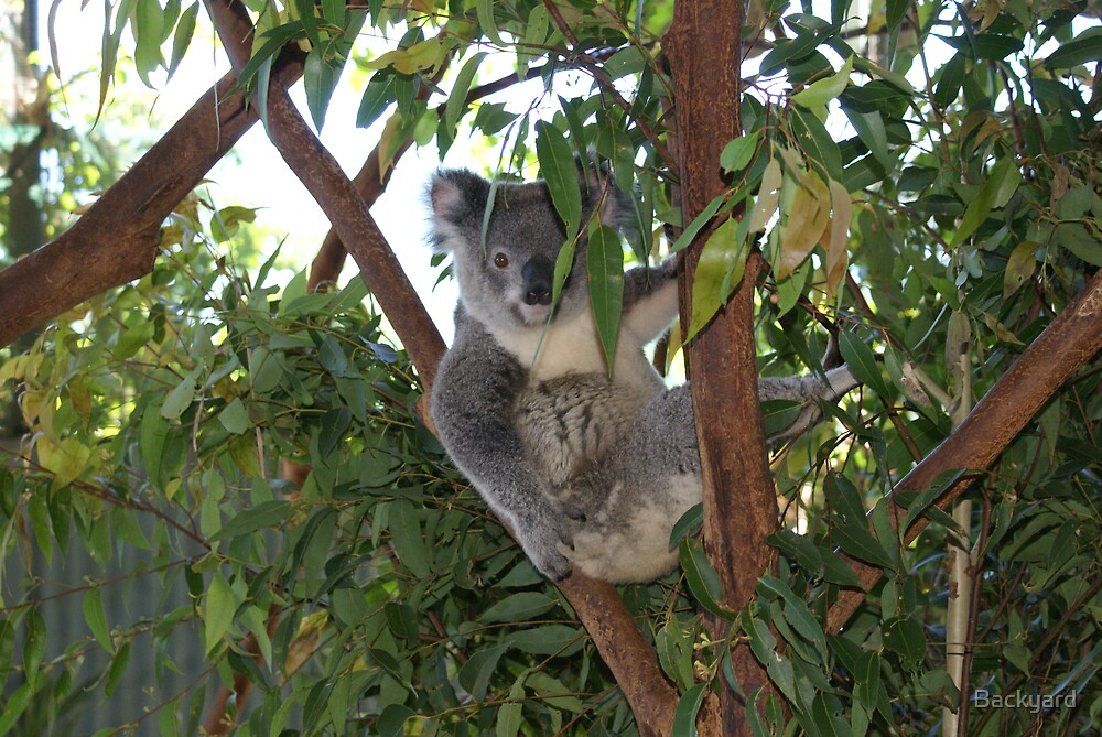 Backyard Koala Shy Now by Backyard