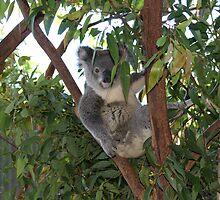 Backyard Koala Shy Now by Backyard