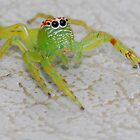 Funky jumping spider by Stewart Macdonald