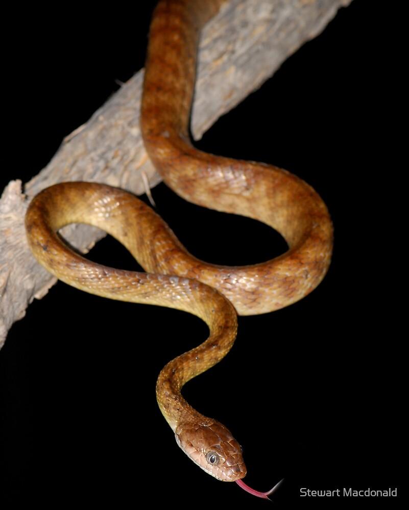 Brown tree snake by Stewart Macdonald