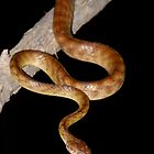 Brown tree snake by Stewart Macdonald