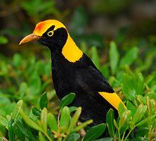 Regent bowerbird by Stewart Macdonald