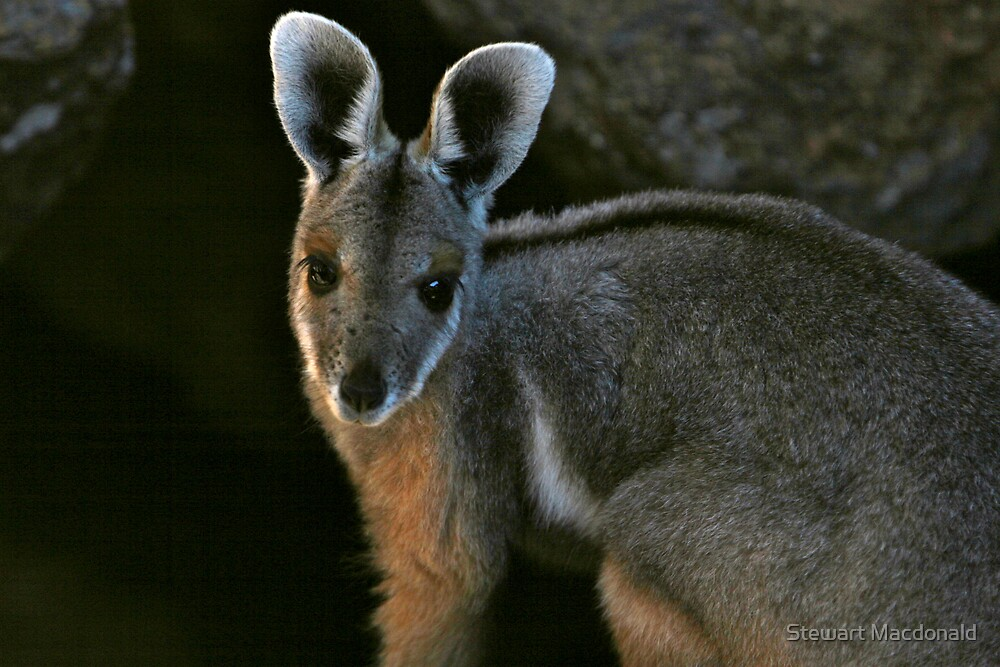 Yellow-footed rock wallaby by Stewart Macdonald