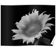 Sunflower Alone Black and White Poster