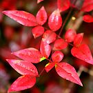 RED by photomama4