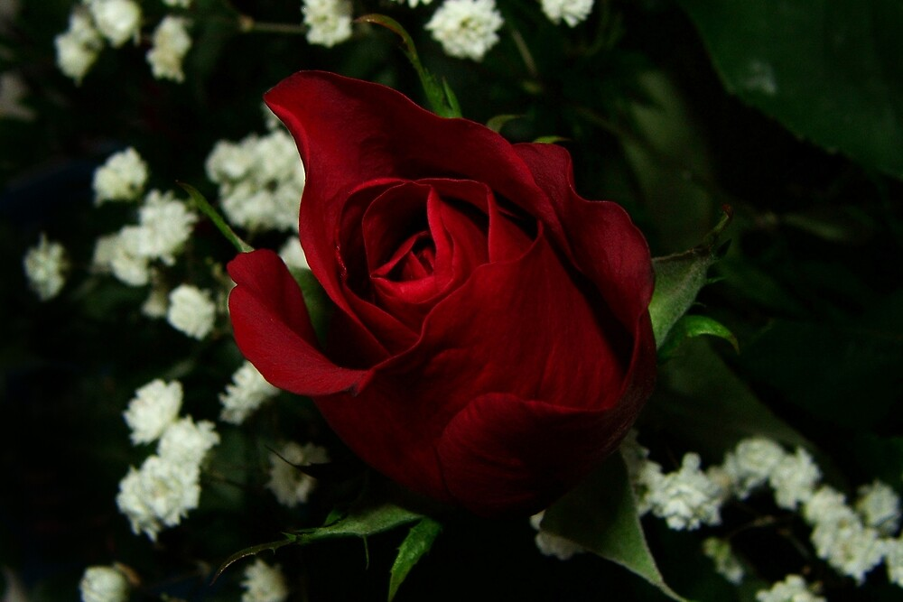 Anniversary Rose by DJ Fortune