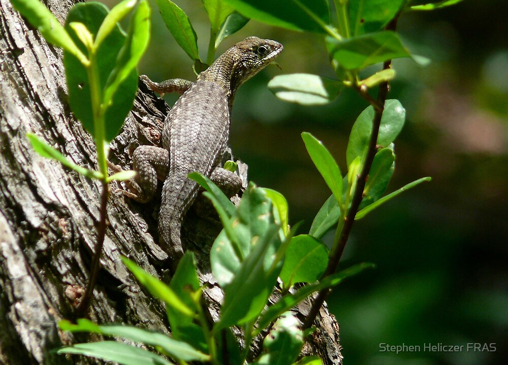 Lizard by Stephen Heliczer
