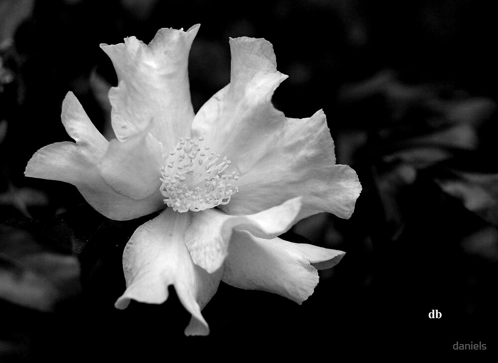camellia in BW_3 by daniels