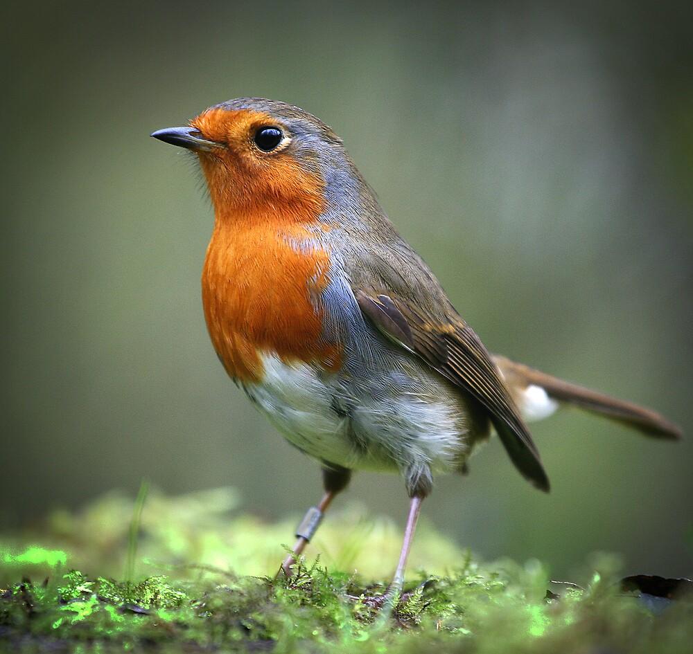 Robin by Martyn Starkey