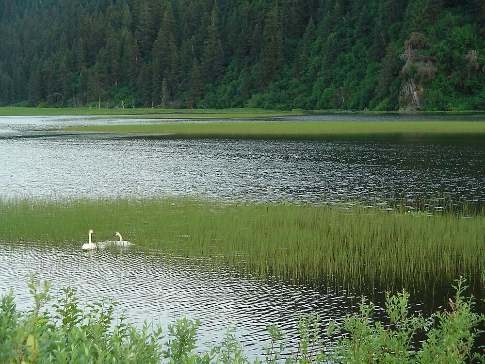 Alaskan Swans by beauryan
