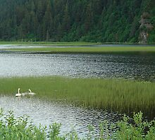 Alaskan Swans by beauryan