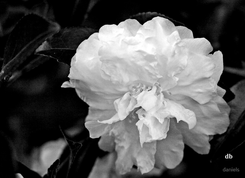 camellia in bw_4 by daniels