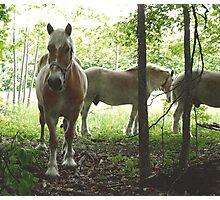 Gorgeous horses Photographic Print