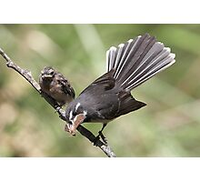 """Grey Fantail and chick ~ """"Lunch Has Arrived""""  Photographic Print"""