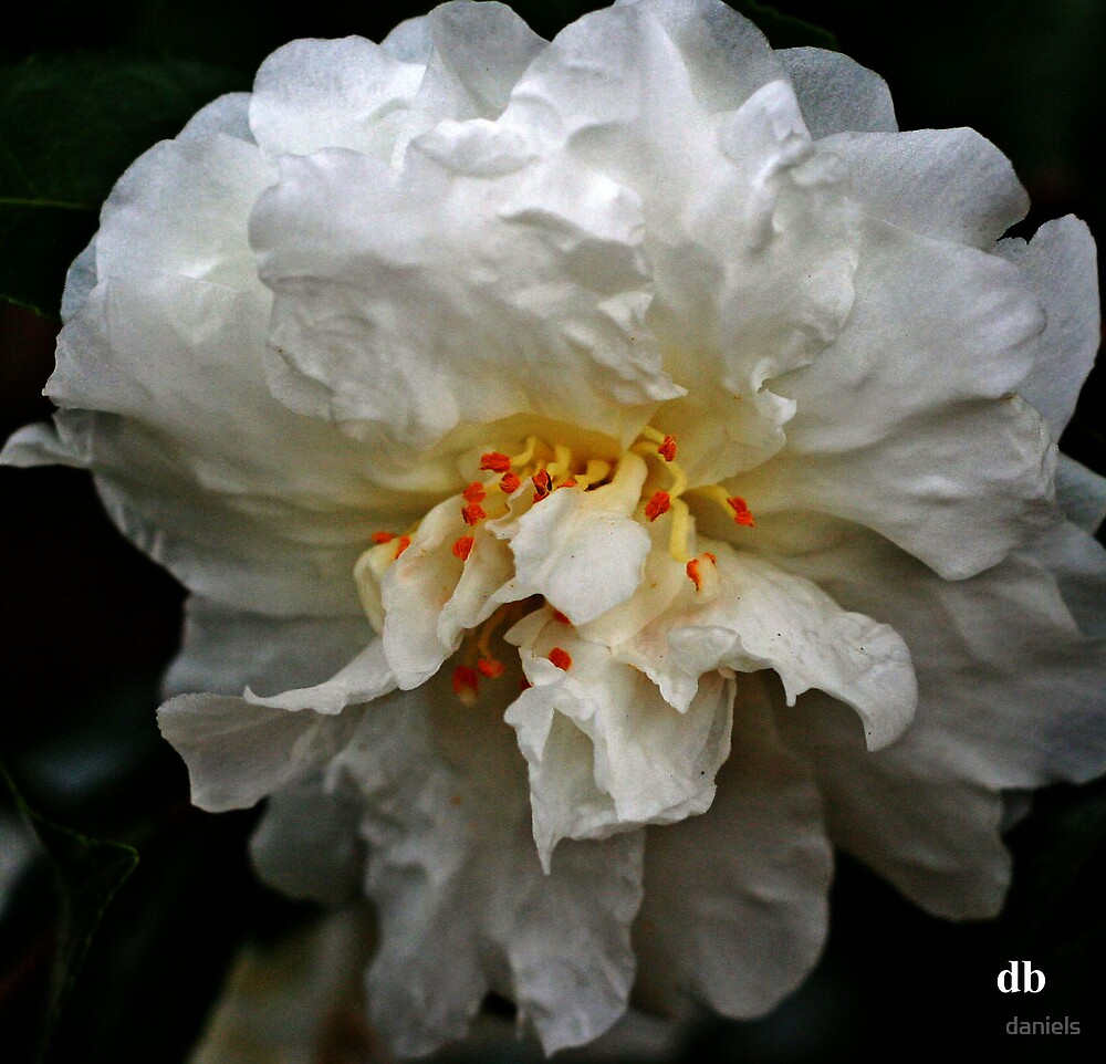 white camellia_3 by daniels