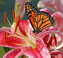 Monarch Butterfly on a Stargazer Lily by cresslerphotos