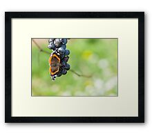 Red Admiral Eating Grapes Framed Print