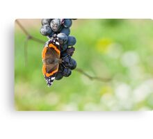 Red Admiral Eating Grapes Canvas Print