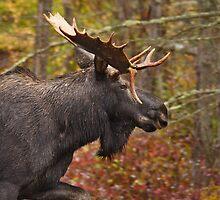 Bull Moose by Jonathan Steele