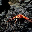 mokuluan crab by karolina
