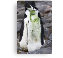 "Chinstrap Penguin ~ ""For the love of Saint Patrick"" Canvas Print"