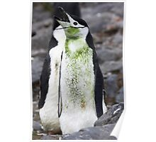 "Chinstrap Penguin ~ ""For the love of Saint Patrick"" Poster"