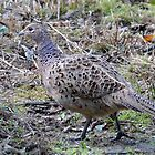Hen Pheasant (Phasianus colchicus) - Moore Nature Reserve by Chris Monks