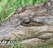 Fresh Water Crocodile (Crocodylus johnstoni) by Rod Brunker