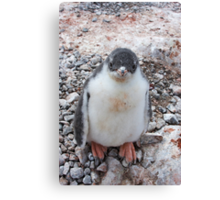 "Gentoo Penguin Chick ~ ""My life's goal....to grow into my feet!"" Canvas Print"