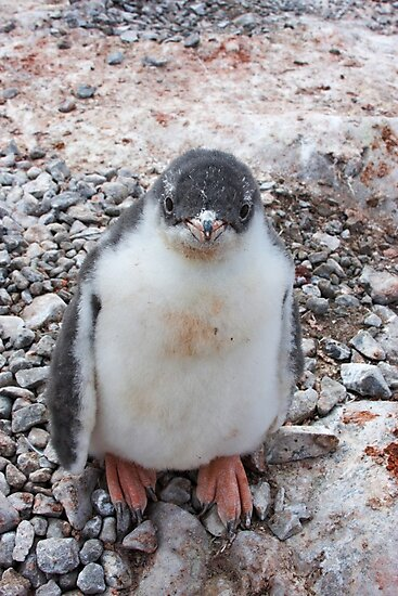 "Gentoo Penguin Chick ~ ""My life's goal....to grow into my feet!"" by Robert Elliott"