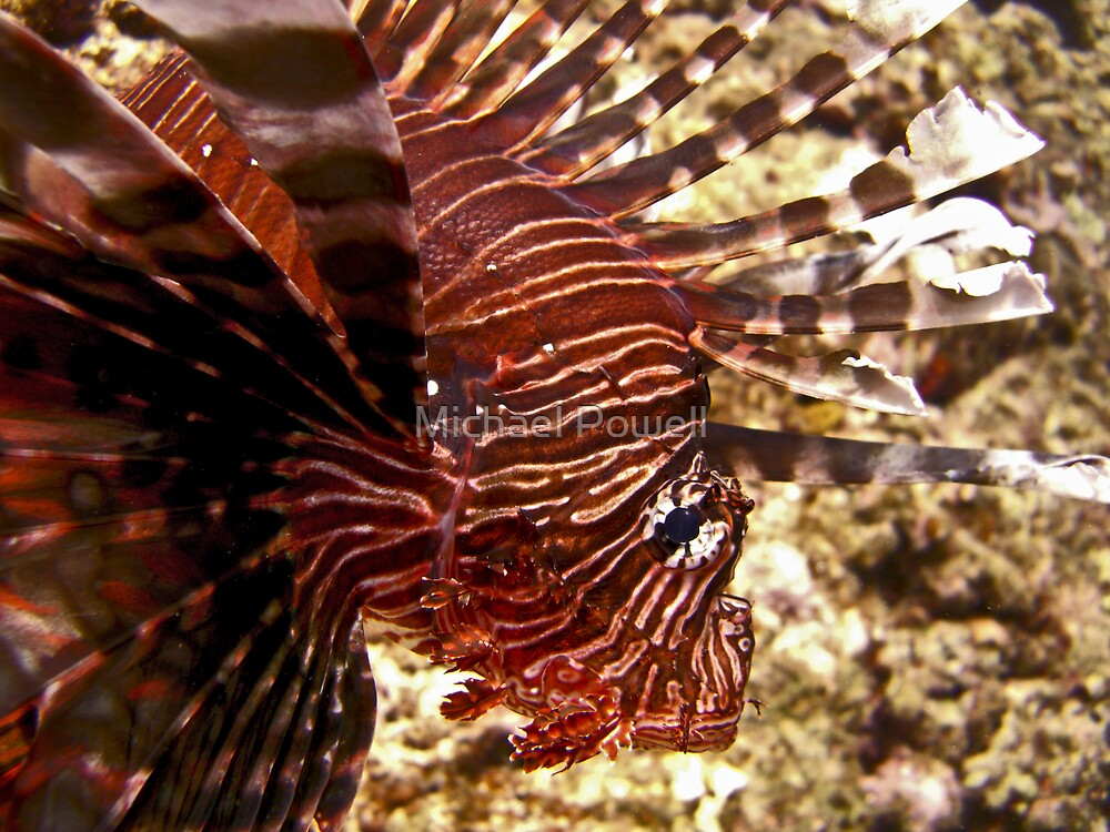 Ie Island Lion Fish (Color Version) by Michael Powell