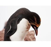"Macaroni Penguin ~ ""...at the end of a hard day..."" Photographic Print"