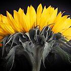 Sunflower by Alan Hawkins