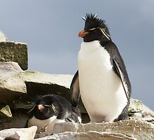 "Rockhopper Penguins ~ ""Welcome to our home"" by Robert Elliott"