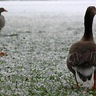 Winter geese by hettie