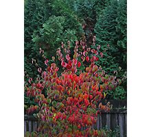 dogwood with conifer Photographic Print